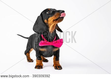 Fashionable Dachshund Puppy With Bow Tie Around Neck Looks Up With Interest And Licks Lips, Front Vi