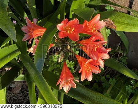 Photo Of The Flower Of Kaffir Lily, Bush Lily, Natal Lily Or Clivia Miniata (lindl.) Bosse.