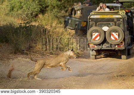 A Lioness Runs Close To A Safari Vehicle Full Of Tourists In Samburu National Reserve Kenya