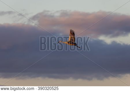 The Sandhill Crane In Flight During Migration