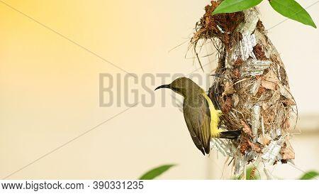 Sunbird And Baby Bird In A Nest At Thailand. Olive-backed Sunbird, Yellow-bellied Sunbird, Cinnyris
