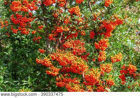 Pyracantha Or Firethorn In A Garden In Autumn With Orange Colored Berries