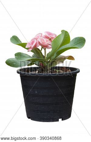 Pink Euphorbia Milli Or Crown Of Thorns Flower In Black Plastic Pot Isolated On White Background Inc