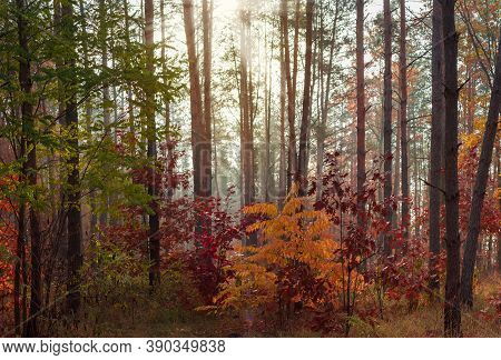 Section Of Deciduous And Conifers Forest In Sunny Autumn Morning At Backlit By Sunlight