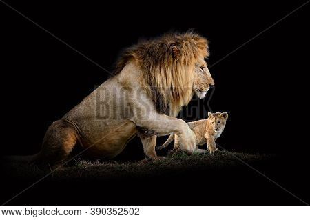 Close Up View Lion. Wild Animal Isolated On A Black Background