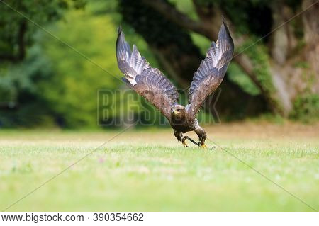 The Steppe Eagle (aquila Nipalensis) Sitting On The Ground On The Grass. Big Eagle In Green. Falconr