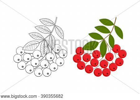 Rowanberry Branch Isolated Vector Illustration. Great For Coloring Books For Adults. Perfect As A De