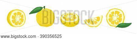 Yuzu Japanese Citron Fruit Vector Illustration Isolated On White Background. Full Citrus Yuzu Fresh