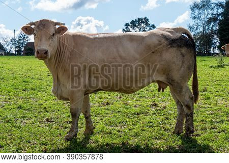 A Cow, Seen From The Side, Stands Proud In A Meadow