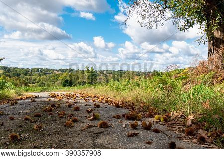 Chestnuts Lying On The Ground In Autumn Time