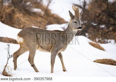 Roe Deer Walking On Snowy Glade In Winter Nature.