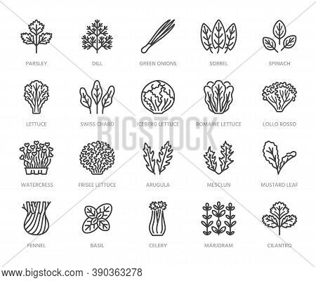 Green Vegetables Flat Line Icons Set. Lettuce, Spinach, Cress Salad, Chard, Dill, Celery Vector Illu