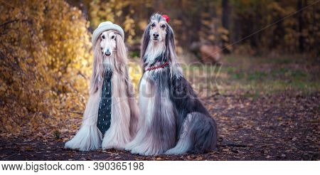 Couple  Dogs In The Style Of The Bride And Groom, Lovers. Afghan Hounds As Men And Women. Concept Lo