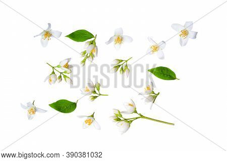 Set Of Beautiful Jasmine Flowers And Branchs Isolated On White Background Closeup. Top View. Copy Sp
