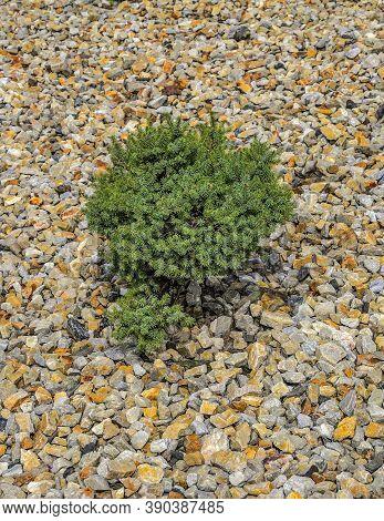 Closeup Of Dwarf Spruce (picea Abies) Cultivar 'dan 's Dwarf' In Garden Landscape - Ornamental Everg