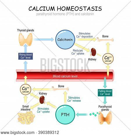 Calcium Metabolism. Vector Illustration About How Level Of The Calcium In Plasma Is Regulated By The