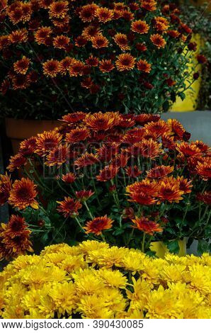 Yellow And Pink Chrysanthemum In A Flower Shop. A Bouquet Of Chrysanthemums. Chrysanthemum Flower.