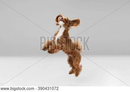 Best Friends. Maltipu Little Dog Is Posing. Cute Playful Braun Doggy Or Pet Playing On White Studio