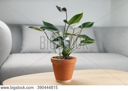 Black Flamingo Flower Or Anthurium Andraeanum In Clay Pot On Wooden Table In Living Room. Air Purify