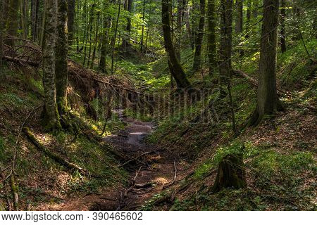 View At Peat Bog Forest Red Creek (crveni Potok)  On Tara Mountain In Serbia