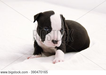 Staffordshire Terrier One-month Puppy Dog. Young Puppy Dog Sitting On White Blanket. Puppy Dog Looki