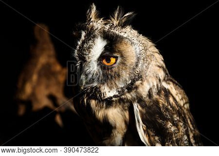Beautiful Eagle Owl On Black Background, Closeup. Predatory Bird