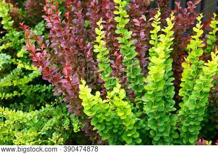Green And Red Leaves Japanese Barberry. Ornamental Garden Shrubs, Used As Pedestrian Barriers