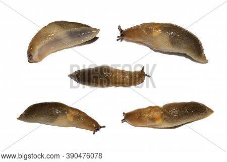 Slug Isolated On A White Background.set Of Slugs On A White Background.