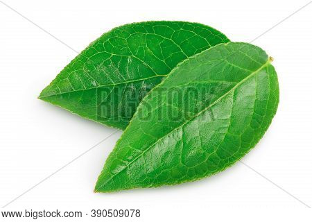 Bilberry Or Blueberry Leaf Isolated On White Background With Clipping Path And Full Depth Of Field.
