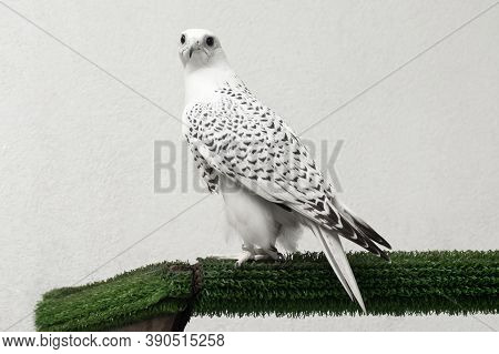 Gyrfalcon Speckled White Falcon Bird Of Prey On White Background.