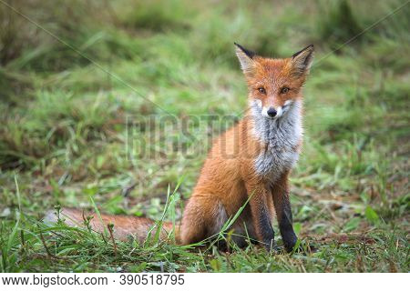 Beautiful Young Red Fox In The Wild. A Sly Fox With A White Breast. A Curious Wild Animal. Rural Pla