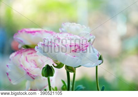 Beautiful Bouquet Of White Ranunculus Flowers With Pink Edging. Flowers And Buds