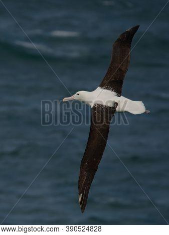 Diomedea Sanfordi - Northern Royal Albatross Big White Bird Flying Above The Blue Sea And Hunting Fi