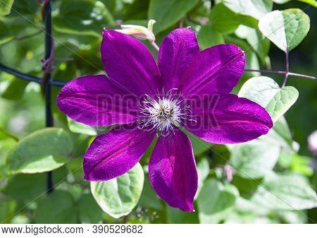 Large Purple Flower Of Clematis Garden Liana. Open Petals, Stamens And Pistil Of Garden Clematis Clo