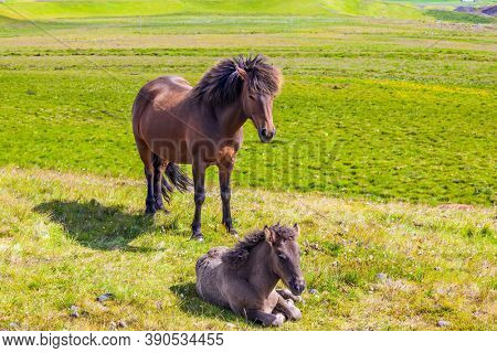 Beautiful and strong Icelandic horses on a free pasture. Portrait of a thoroughbred horse with a brown mane. Green grass in summer tundra. Iceland. Dream Journey to the North of the Earth