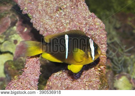 Clark's Anemonefish And Yellowtail Clownfish (amphiprion Clarkii).