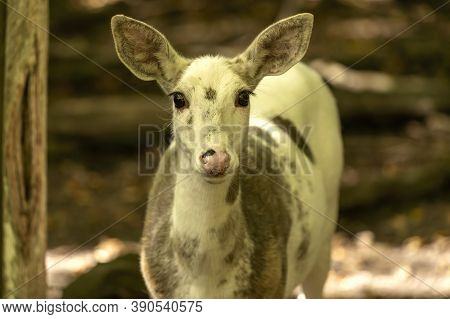 Rare Piebald White-tailed Deer In Conservation Area