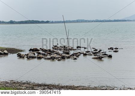 Group Of Asia Buffalo Water Swimming In The River