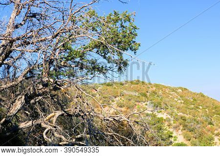 Parched Oak Tree Which Is Dying Caused From A Prolonged Drought And Climate Change Taken In The Arid