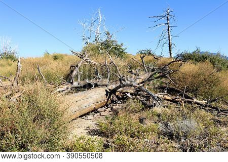 Burnt Pine Trees Caused From A Past Wildfire On An Arid Alpine Meadow Taken In The Windswept Rural S