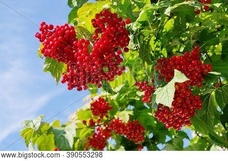Viburnum Vulgaris, Or Red Viburnum (lat. Viburnum Opulus) In The Garden