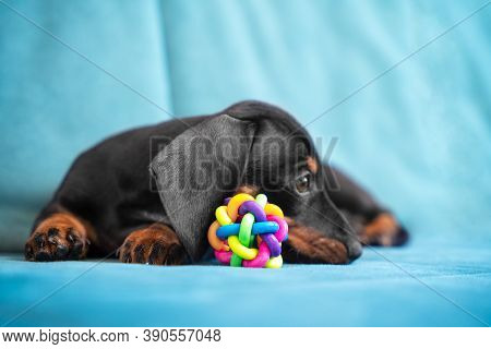 Baby Dachshund Tired Plays And Nibbles Silicone Toy To Scratch Teeth And Not Spoil Furniture At New