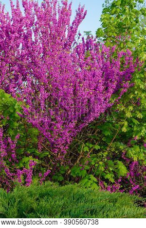Judas Tree Blossoming In The Park. Beautiful Nature Background In Morning Light. Purple And Green Co