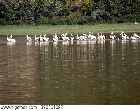 Pelican Colony On The Lower Danube In Romania Natural Areas On The Danube River With Low Banks And S