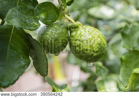 Fresh Bergamots And Leaves On Tree With Water Drops On Them Fruity,   With Herbaceous Bergamia Aroma