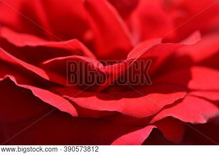 Red Rose Sympathie Detail - Latin Name - Rosa Sympathie