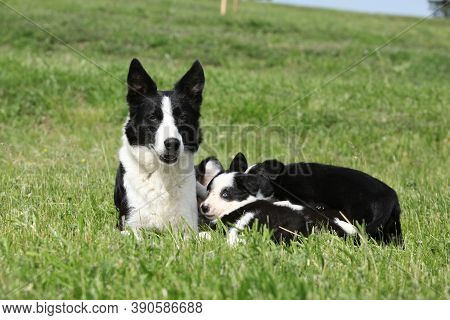 Border Collie Bitch With Its Pupies