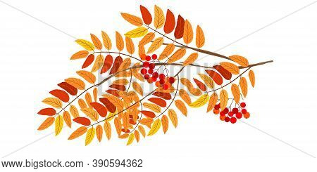 Autumn Background With Rowan Branch. Rowan Branch Isolated On White Background. Vector Illustration.