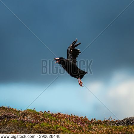 A Red Billed Chough (pyrrhocorax Pyrrhocorax) Flying Above The Ground, Sunny Day In Brittany (france