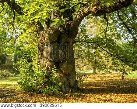 Impressive And Beautiful Ancient Sweet Chestnut Tree In Autumn Sunlight In The Yorkshire Arboretum,
